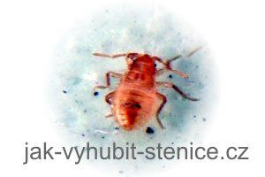 Štěnice nymfa